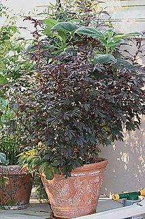Burgandy hibiscus