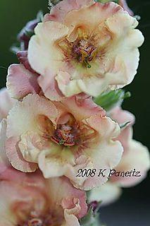 Verbascum 'pink petticoats'1