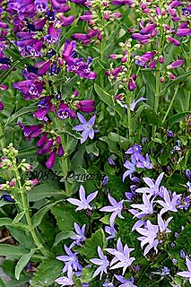 Campanula & Penstemon