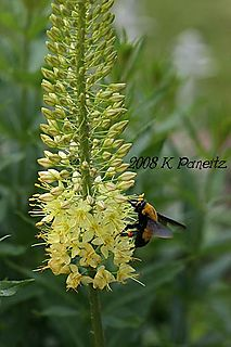 Foxtail lily2