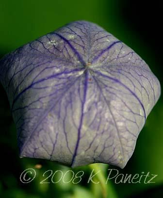 Balloon flower bud