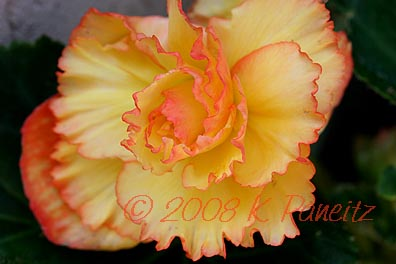 Picotee Lace Begonia