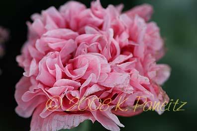 Pink peony poppy