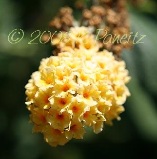 'Honeycomb' Buddleia