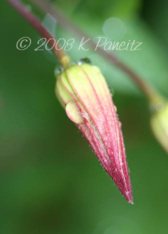 Clematis texensis bud