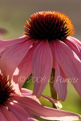 Echinacea Pink2