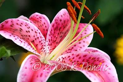 Stargazer lily1