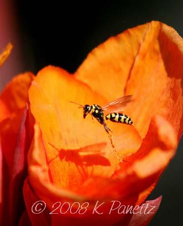 Tropicanna bloom & wasp