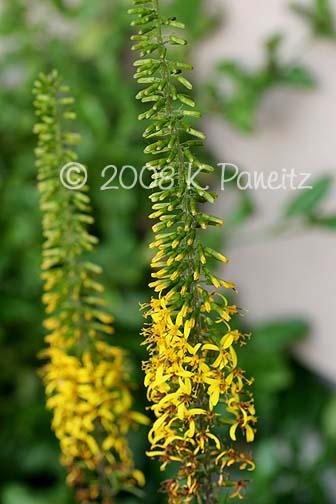 Ligularia Stenocephala buds1