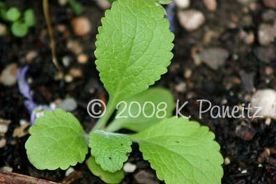 Foxglove seedling