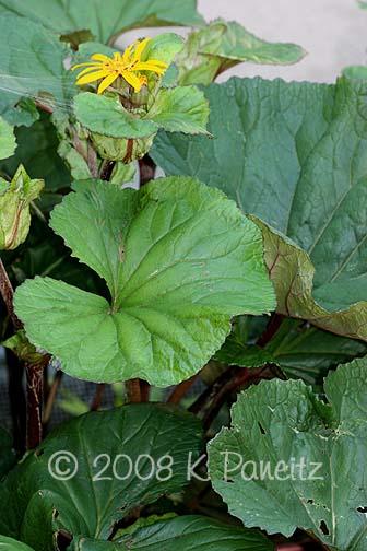 Ligularia dentata foliage