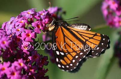 Jagged Ambush bug with Monarch