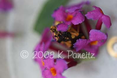 Jagged ambush bug in buddleia1