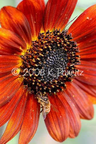 Jagged ambush bug with honeybee