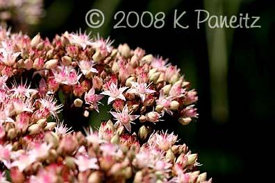 Matrona Stonecrop flowers