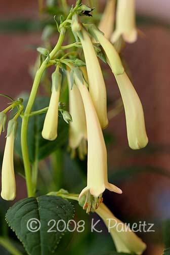 Croftway Yellow Cape Fuchsia