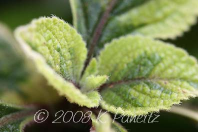 Plectranthus green & gold