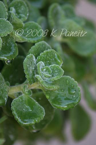 Plectranthus 'Cerveza 'n Lime'