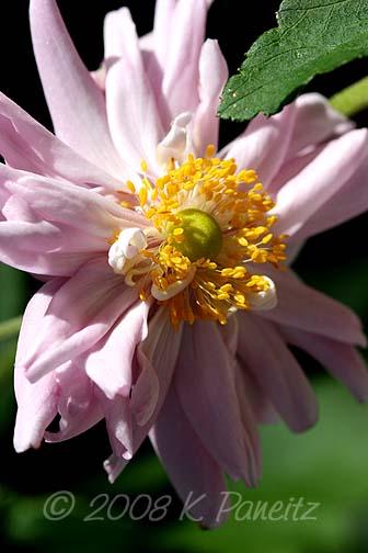 Anemone Dbl Pink