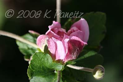 Anemone Dbl Pink Bud