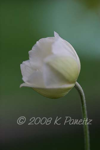 Anemone bud opening1