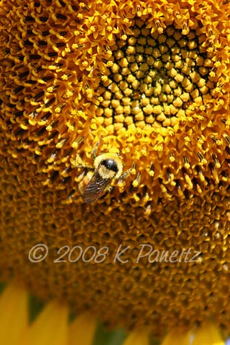 Giant sunflower & bumblebee1
