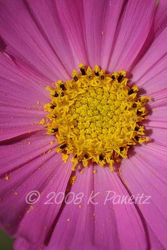 Pink cosmo macro2