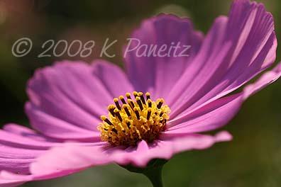 Pink cosmo macro1