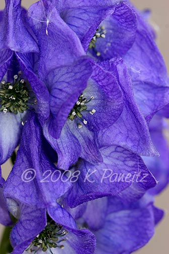 Monkshood macro1