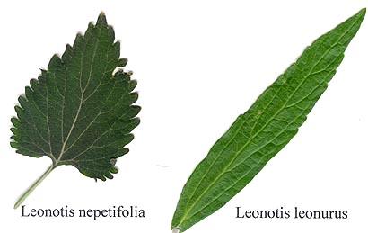 Leonotis foliage