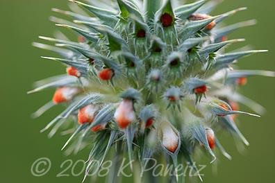 Leonotis nepetiifolia macro