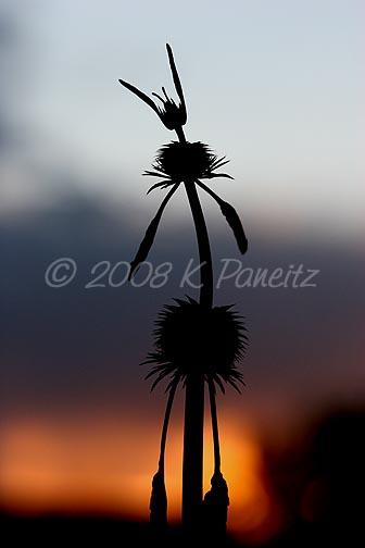 Leonotis nepetiifolia sunset