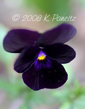 Violas1