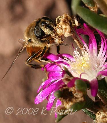 Bee on delosperma1