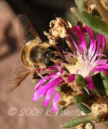 Bee on delosperma