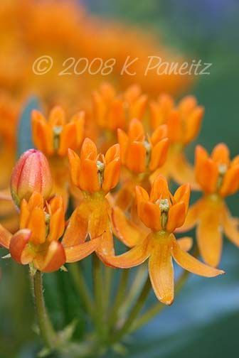 Asclepias blooms