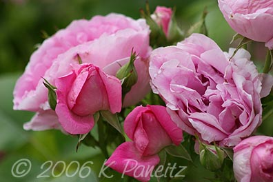 Pink Roses1