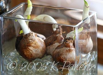 Narcissus Inbal Bulbs