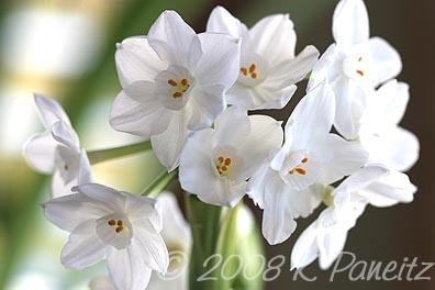 Narcissus Inbal Blooms