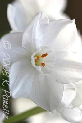 Narcissus Inbal Bloom