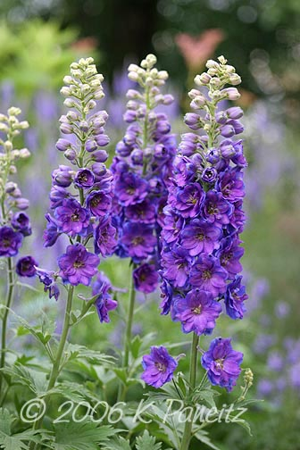 Delphiniums purple