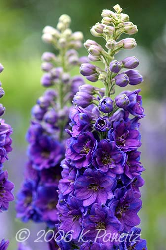 Delphiniums purple1