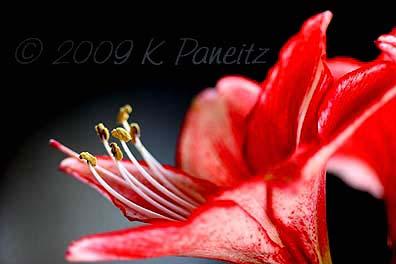 Amaryllis Charisma Bloom4