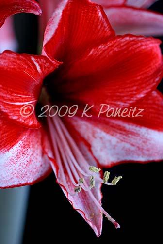 Amaryllis Charisma Bloom9