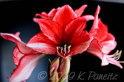 Amaryllis Charisma Bloom6