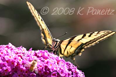 Western Tiger Swallowtail3