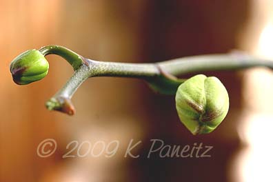 Orchid bud1