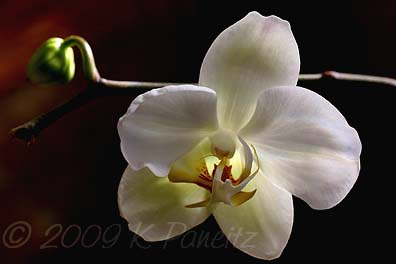 Orchid bloom3