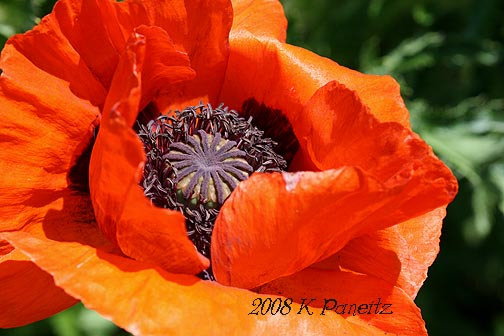 DBG Orange Poppy