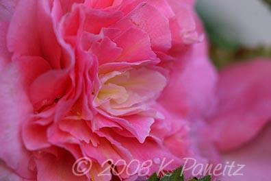 Begonia non stop pink4